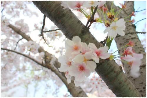 桜満開の季節です