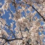 桜と4月のイベント-chausser 受注会